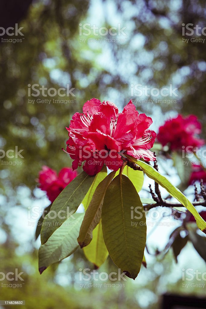 Rhododendron in bloom royalty-free stock photo