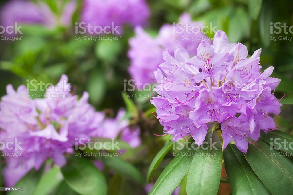 Rhododendron in bloom stock photo