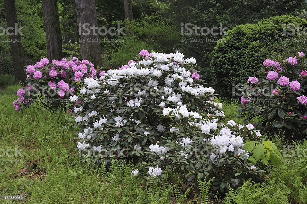 Rhododendron in Blossom royalty-free stock photo