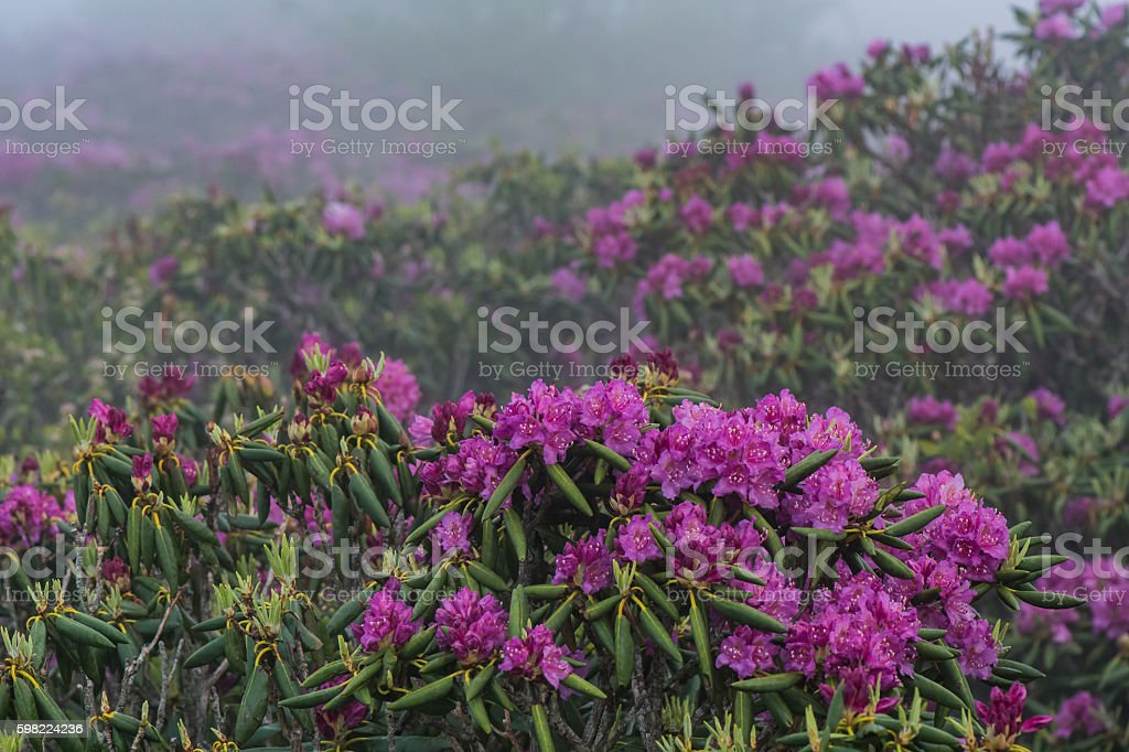 Rhododendron in Foreground of More Rhododendron stock photo