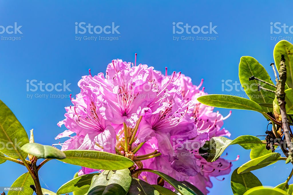 Rhododendron in full bloom stock photo