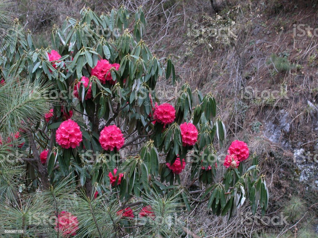 Rhododendron in Nepal stock photo
