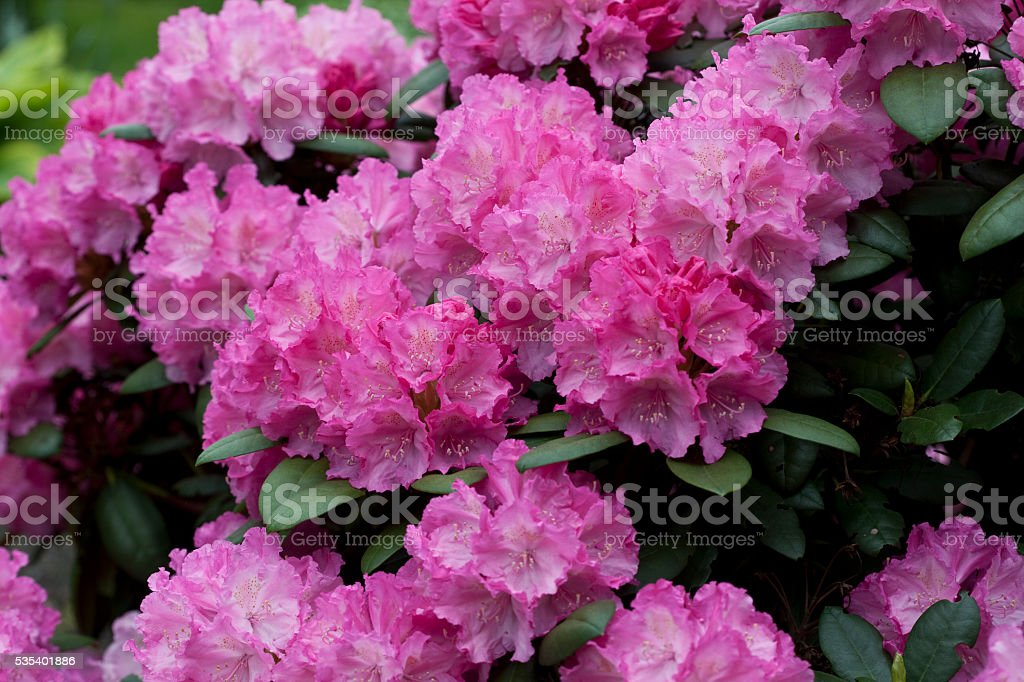 Rhododendron in Pink stock photo