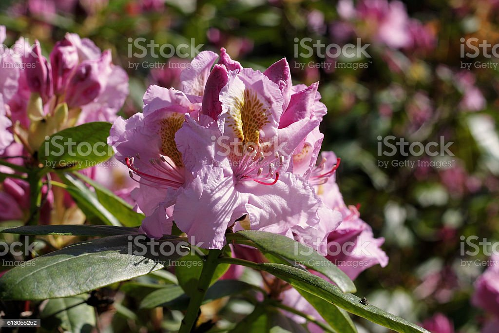 Rhododendron in spring stock photo