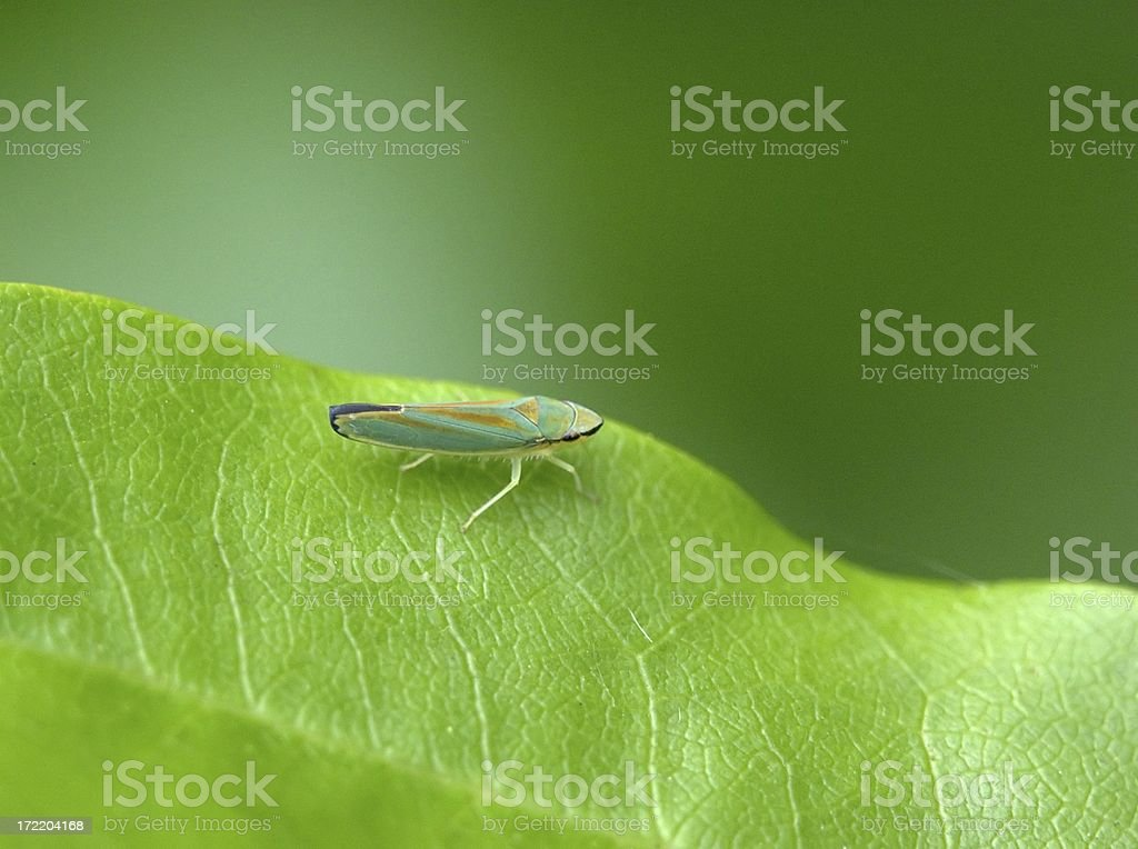Rhododendron Leafhopper stock photo