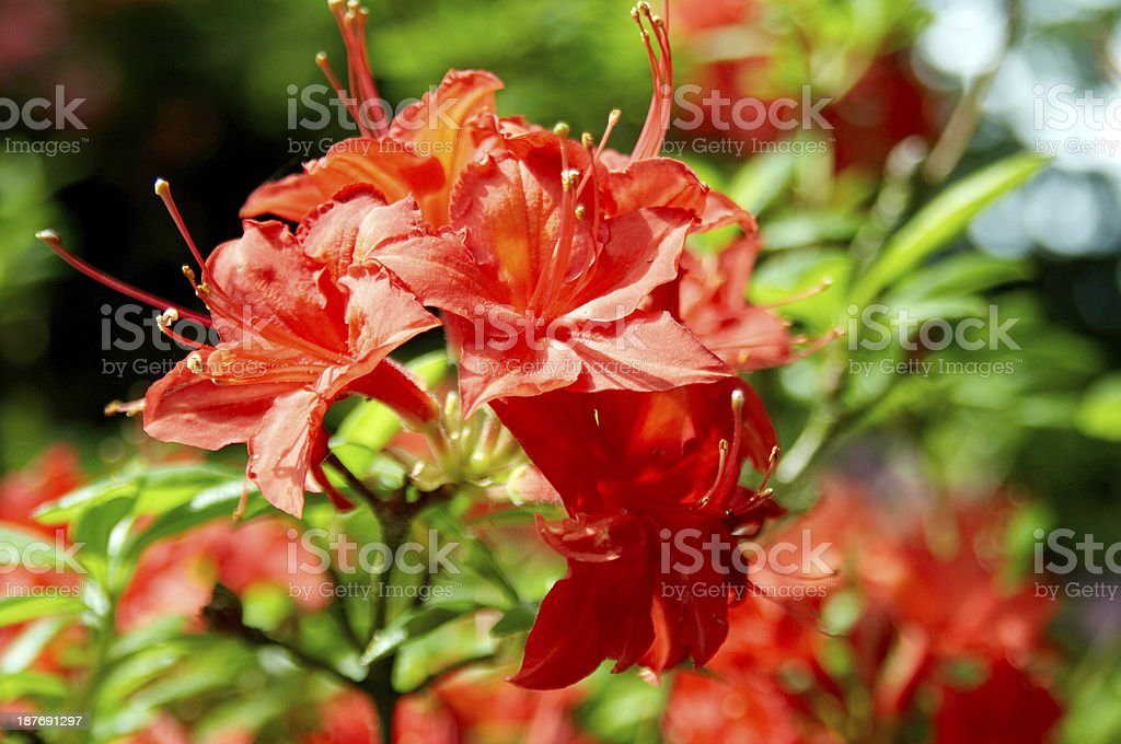 Rhododendron - royalty-free stock photo