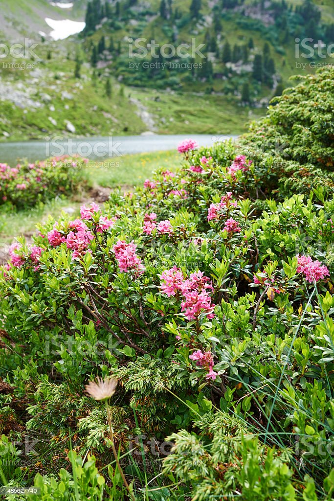 Rhododendron stock photo