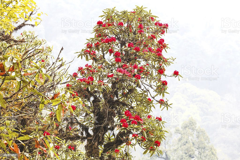Rhododendron plants are the Himalayas, on mountain stock photo