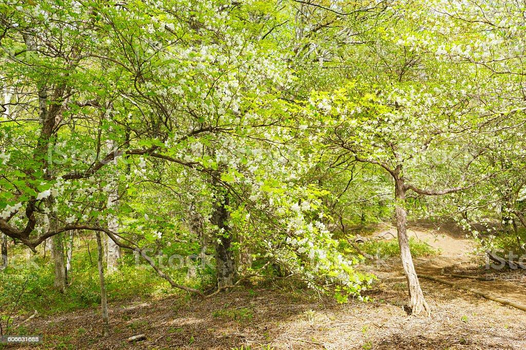 Rhododendron Quinquefolium, Mount Nasu-dake stock photo