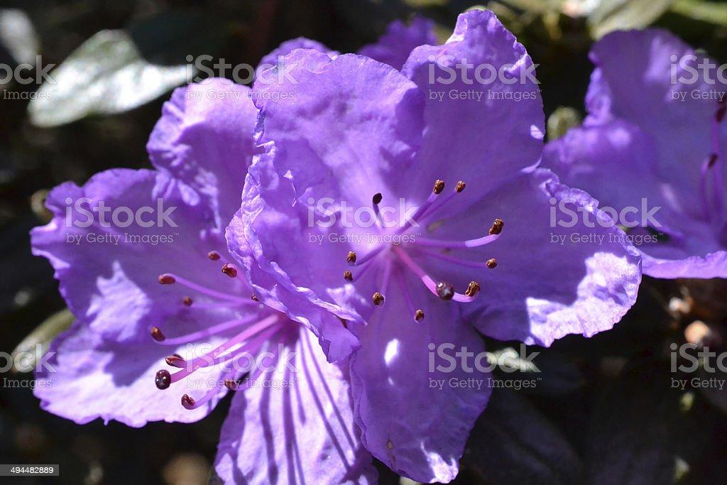 Rhododendron Ramapo stock photo