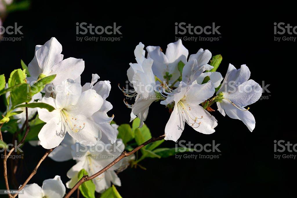 Rhododendron schlippenbachii (Royal Azalea) stock photo