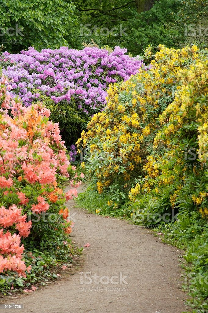 rhododendron three colours stock photo