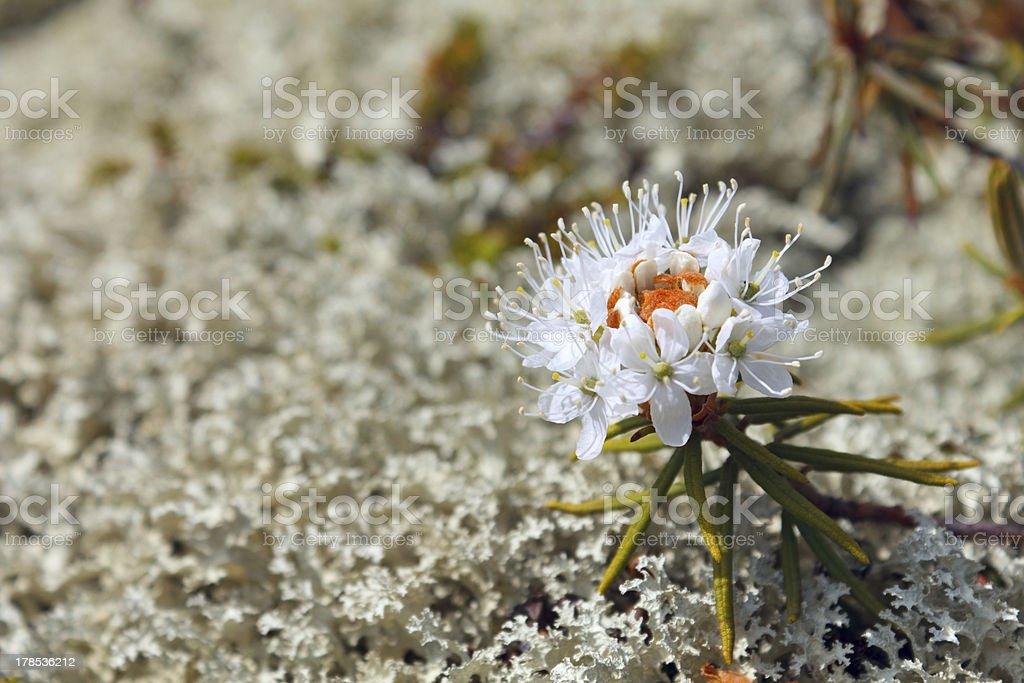 Rhododendron tomentosum (syn. Ledum palustre) royalty-free stock photo