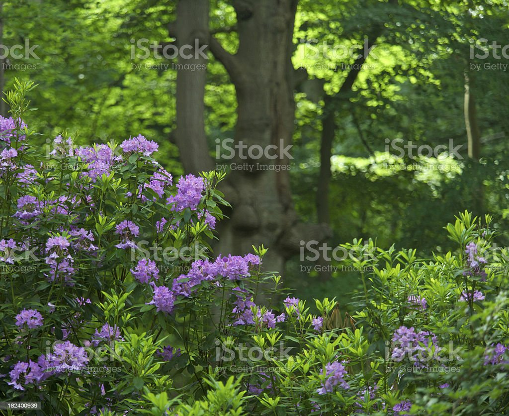 Rhododendrons in a beech forest stock photo