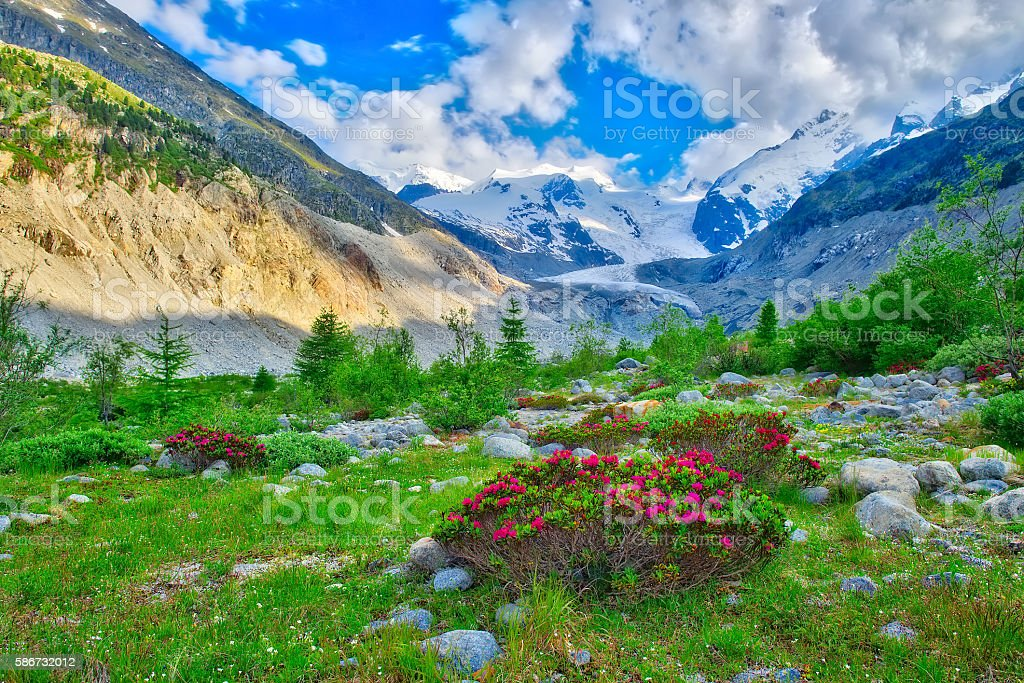 Rhododendrons in the Swiss Alps in the green beneath glaciers stock photo