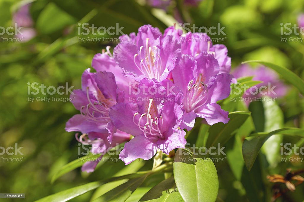 Rhododendrons stock photo