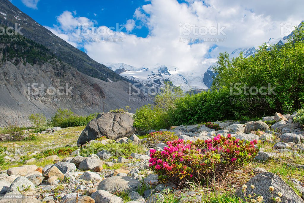 Rhododendrons under mountains of glaciers in the Alps stock photo