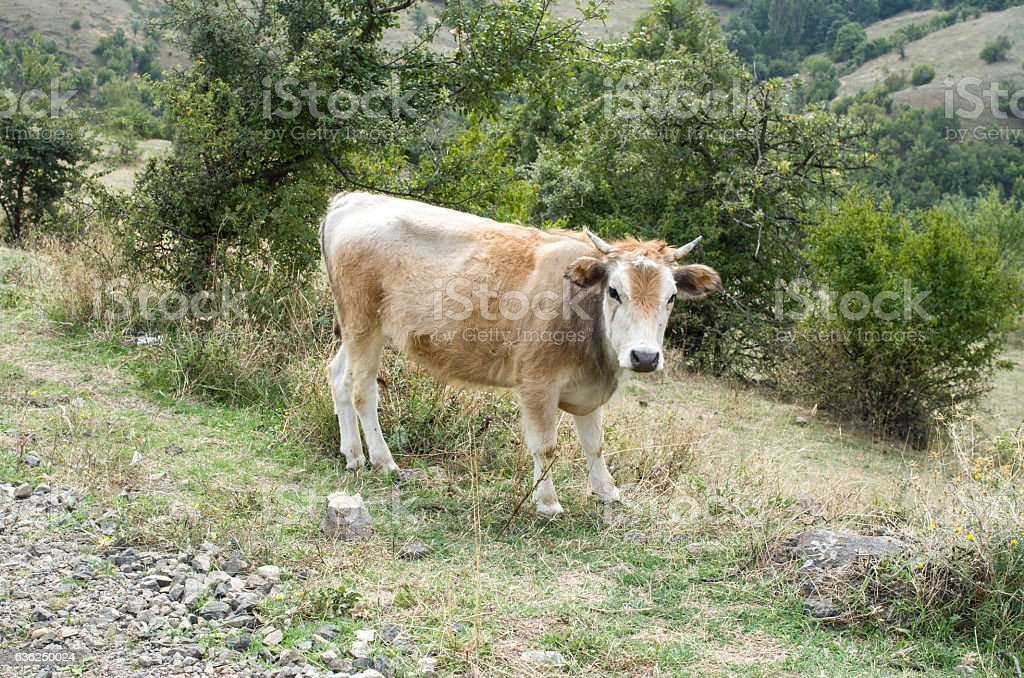 Rhodope Shorthorn cattle on the mountain meadow, Bulgaria, stock photo