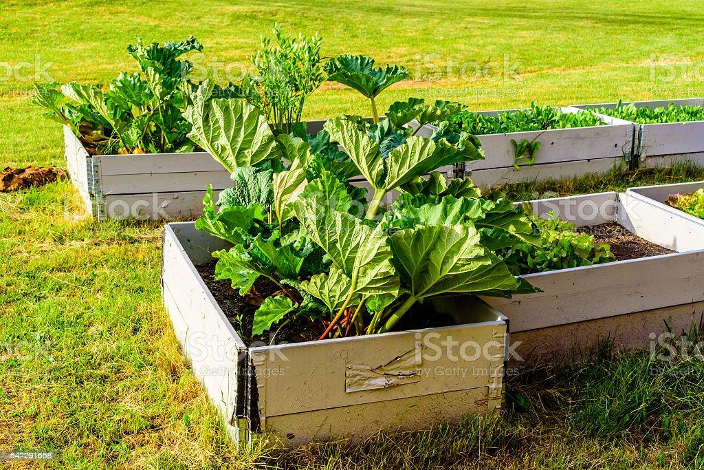 Rhubarb bed stock photo