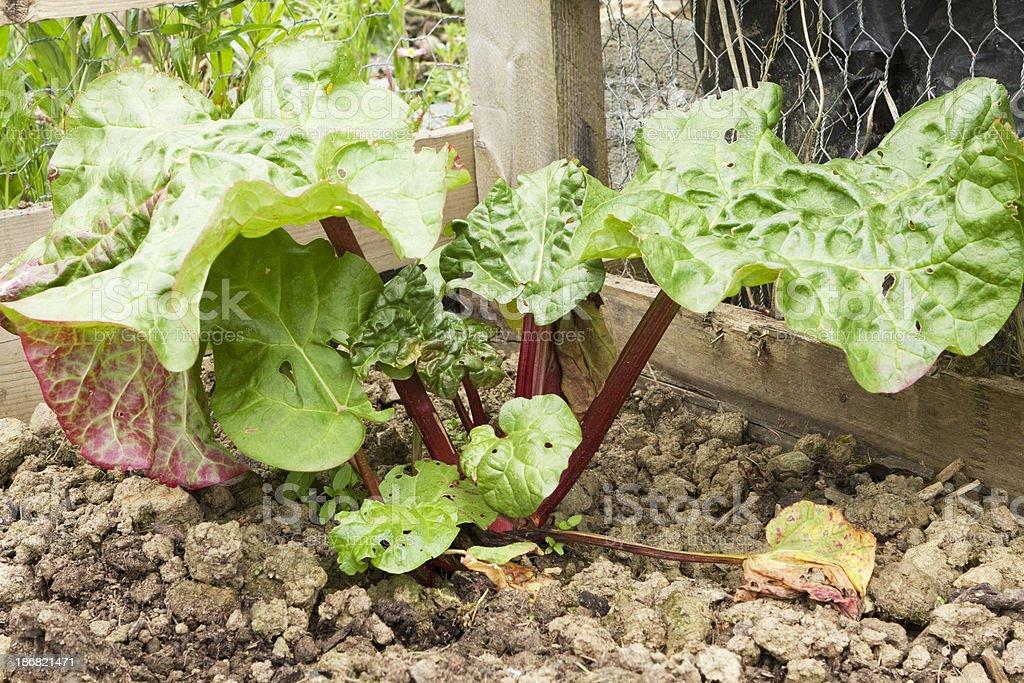 Rhubarb corner royalty-free stock photo