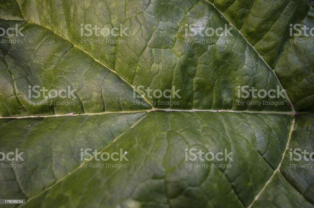 rhubarb leaf royalty-free stock photo