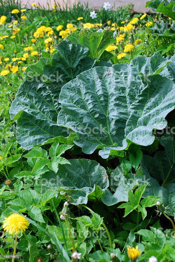 Rhubarb Leaves stock photo