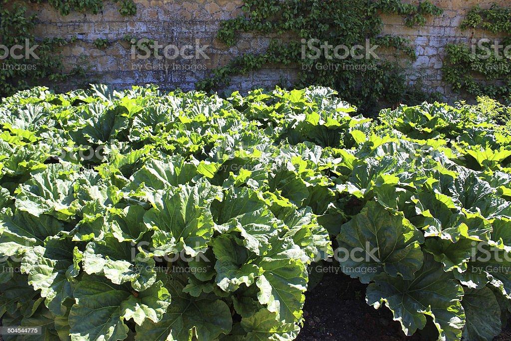 Rhubarb plants growing in walled kitchen garden / ornamental vegetable garden stock photo