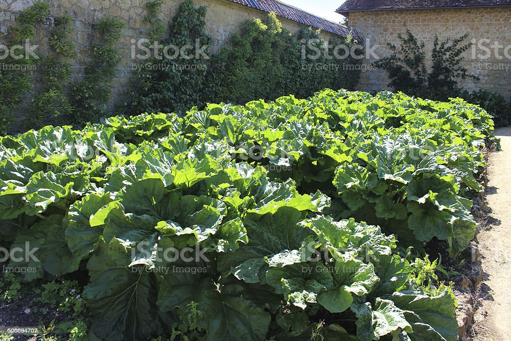 Photo showing a large patch of rhubarb leaves growing in a sunny...