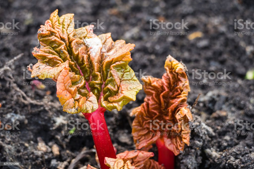 Rhubarb spring stock photo