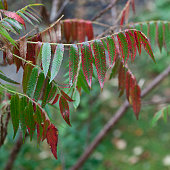 Rhus Typhina Dissecta with Red and Green Leaves