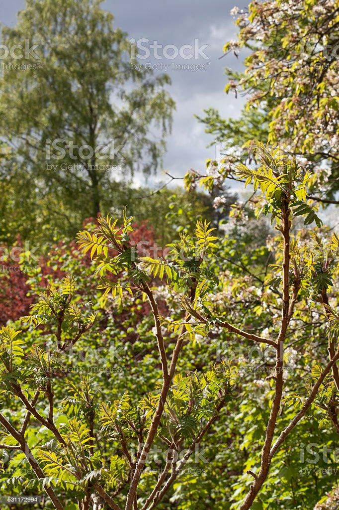 Rhus Typhina Tree in Summertime stock photo