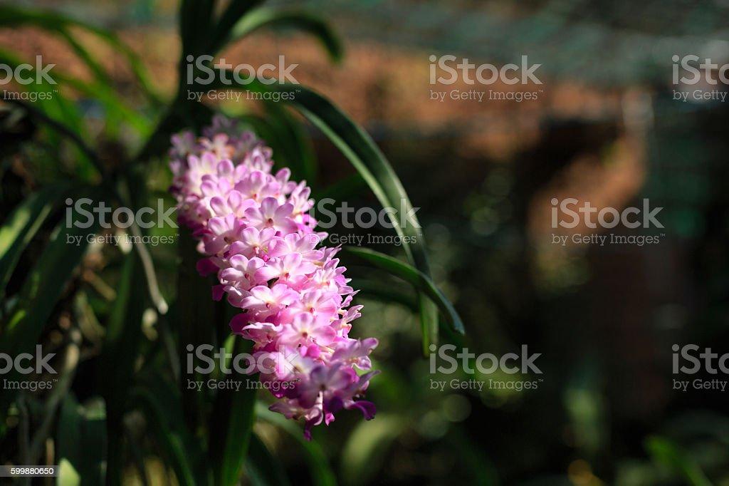 Rhynchostylis Gigantea flower in VietNam stock photo