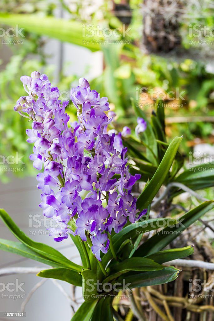 Rhynchostylis,Purple orchid flower. royalty-free stock photo
