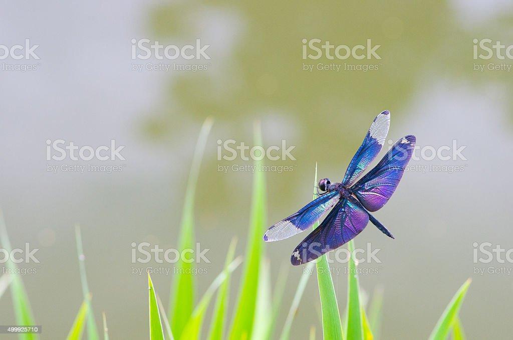 Rhyothemis fuliginosa stock photo