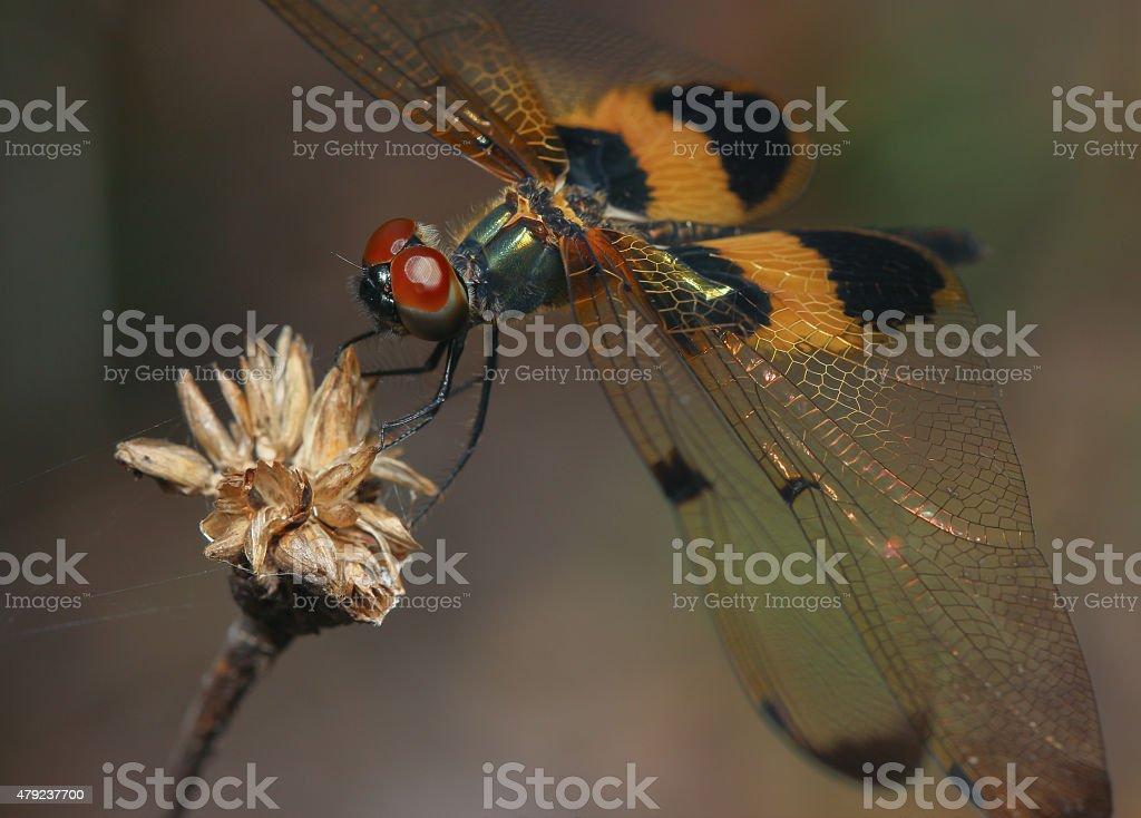 Rhyothemis phyllis dragonfly stock photo