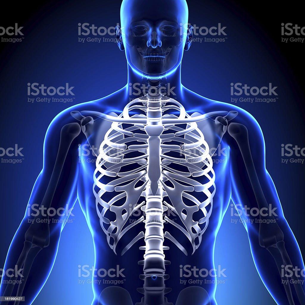 Rib Cage Sternum - Anatomy Bones stock photo