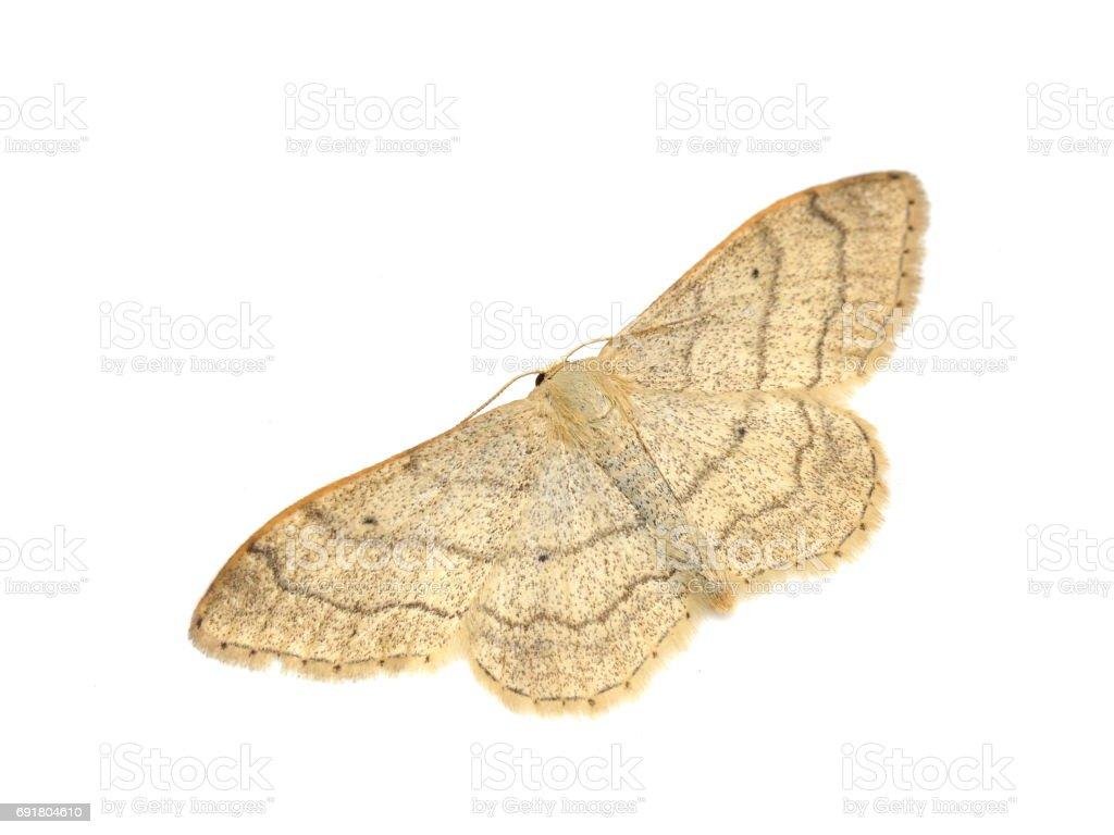 Riband wave moth stock photo