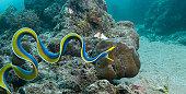 Ribbon eel (male)