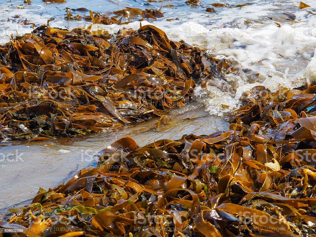 Ribbon Kelp stock photo