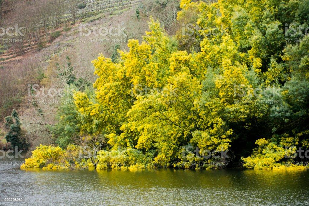 Ribeira Sacra springtime view, mimosas and river Miño. stock photo