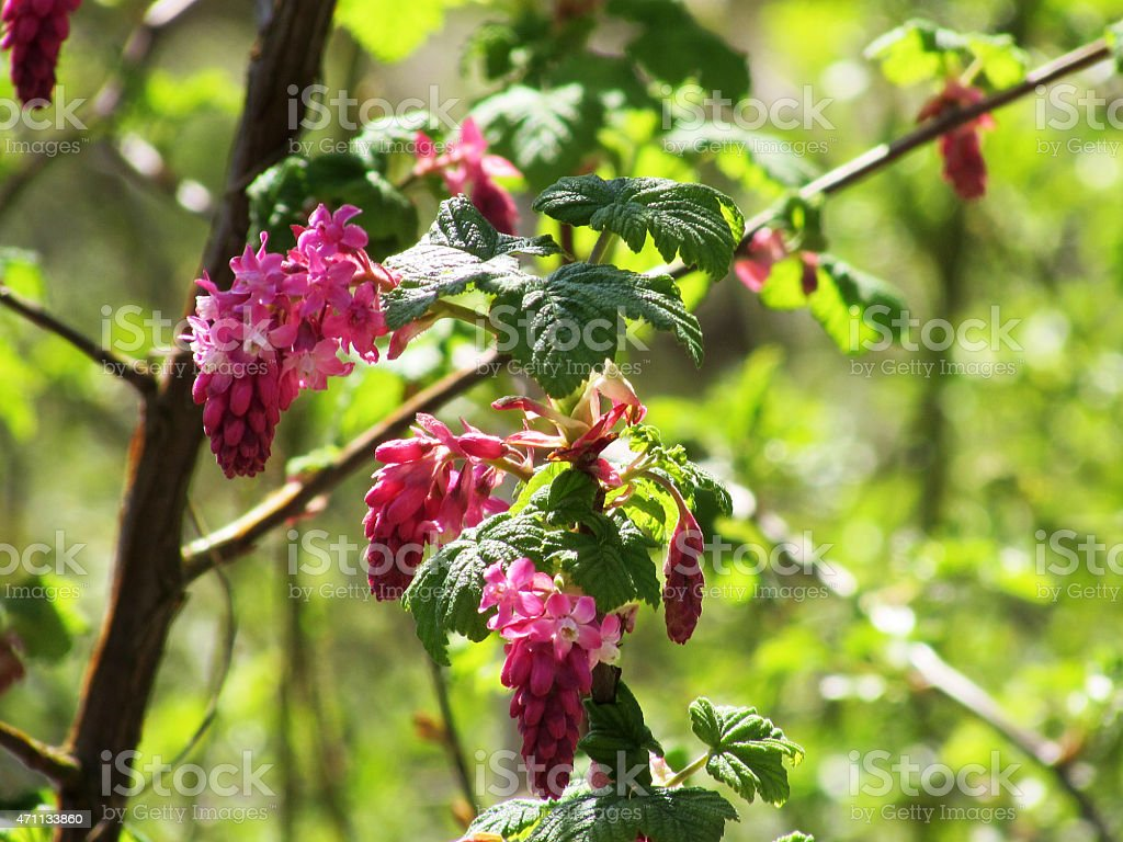 Ribes sanguineum or Red Flowering Currant stock photo