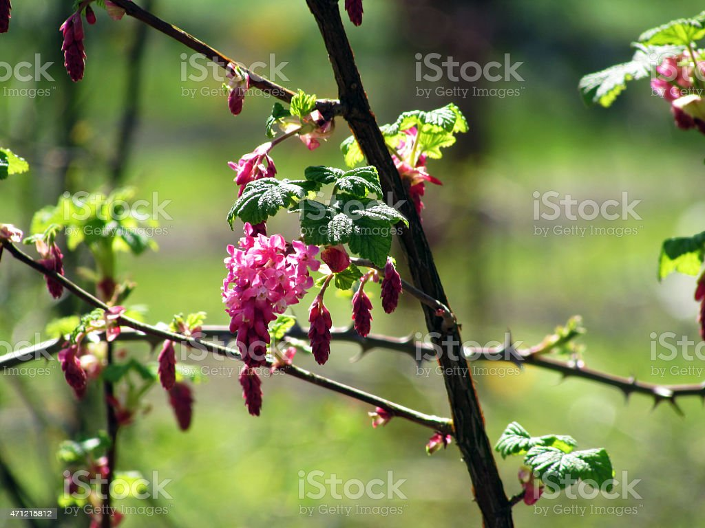 Ribes sanguineum stock photo