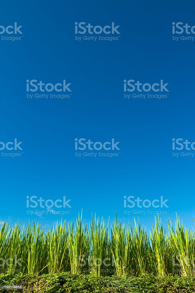 Rice and blue sky royalty-free stock photo