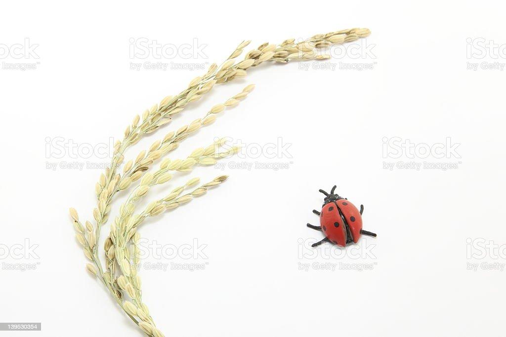 Rice and ladybird stock photo
