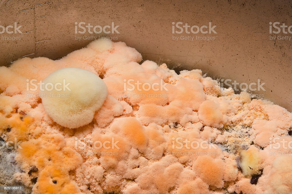 rice be moldy.fungus on rot rice.Old bad spoiled rice.Moldy rice stock photo
