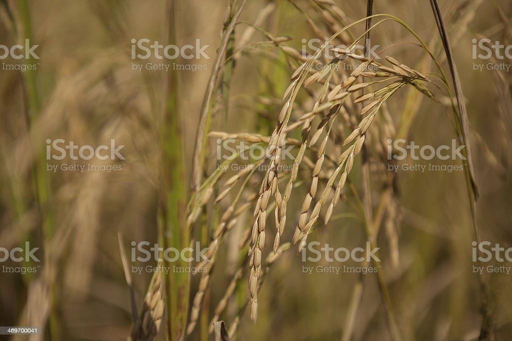 Rice vor Ernte Lizenzfreies stock-foto