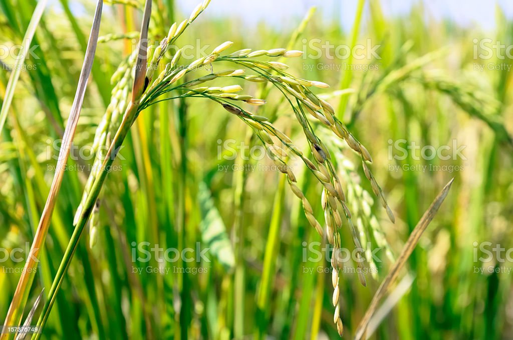 Rice Crop for Harvest stock photo
