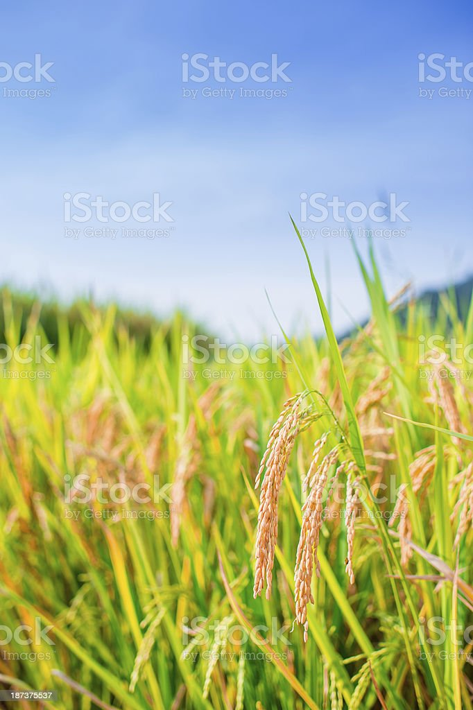 Rice Crop in Paddy Field royalty-free stock photo