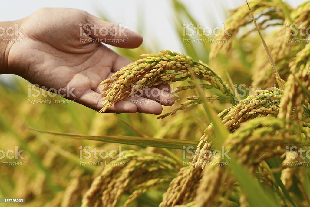Rice crop royalty-free stock photo