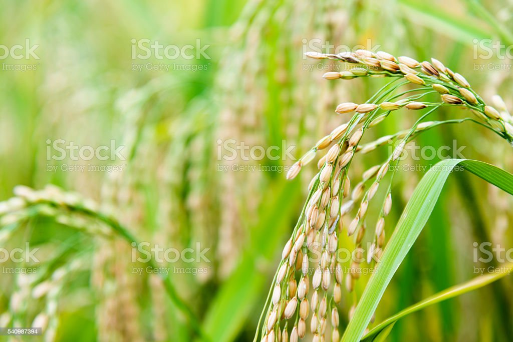 Rice crop stock photo